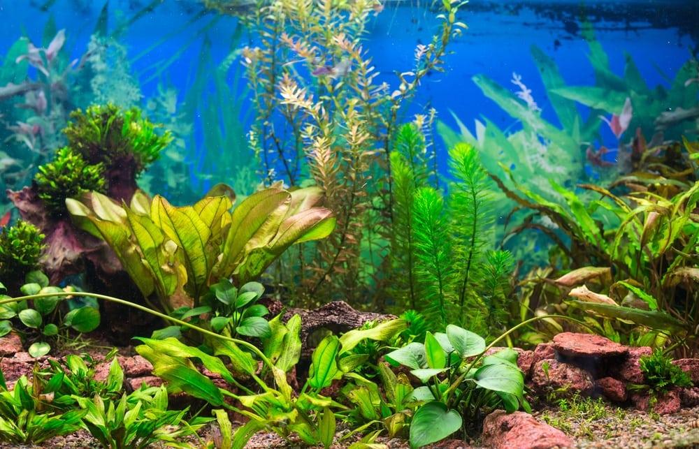 aquarium background plants