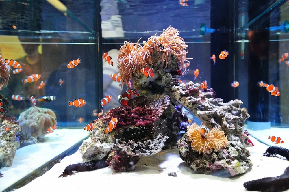 Clown fish in aquarium tank