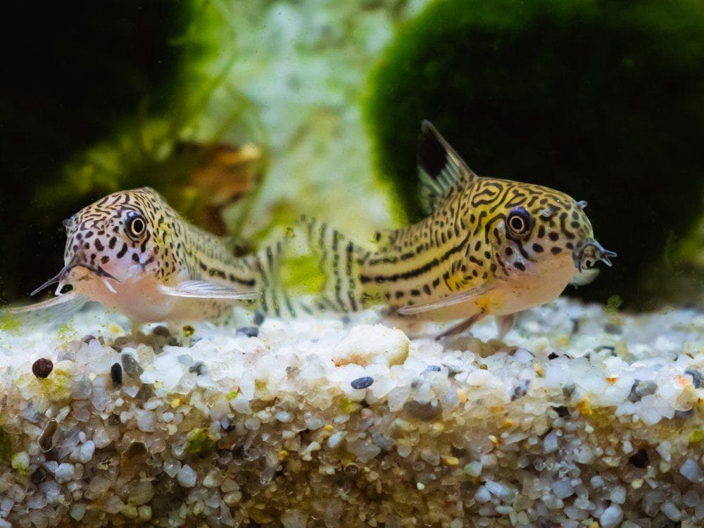 two spotted cory catfish in sandy rocks