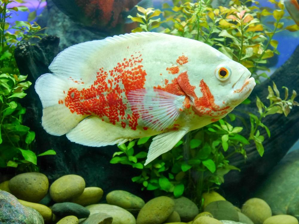 white and orange oscar fish