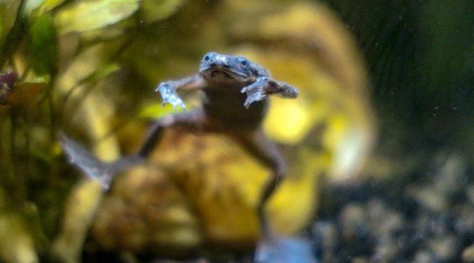 African dwarf frog hopping