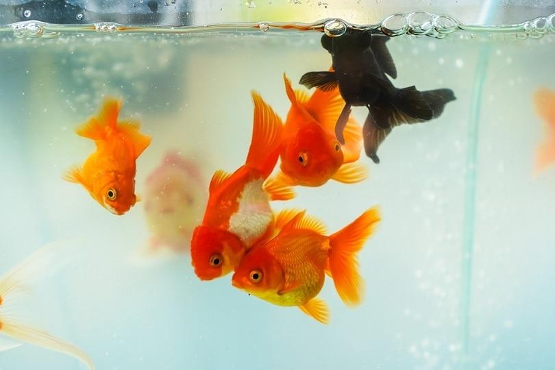 Beautiful-goldfish-in-the-aquarium_Nature-and-Life_shutterstock