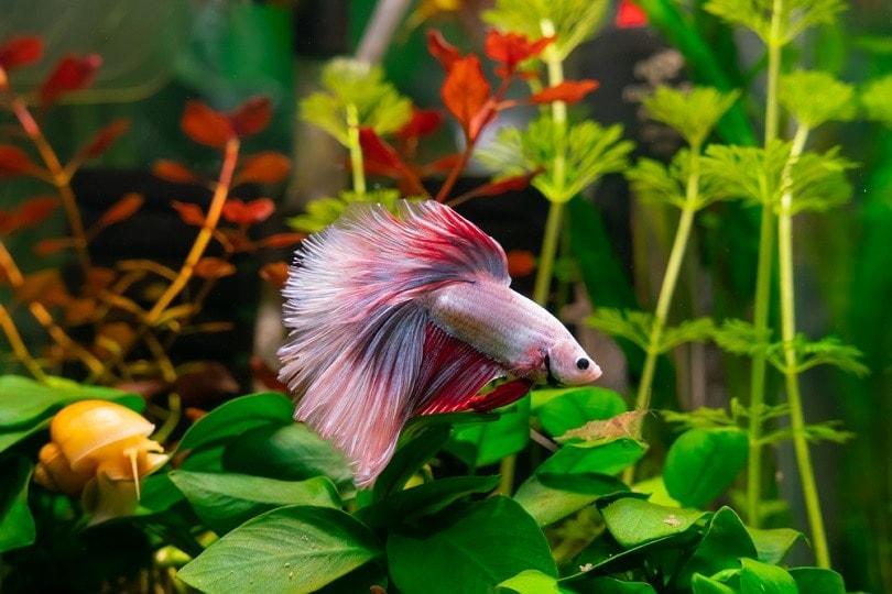 Betta-Fish-in-aquarium_gogorilla_shutterstock