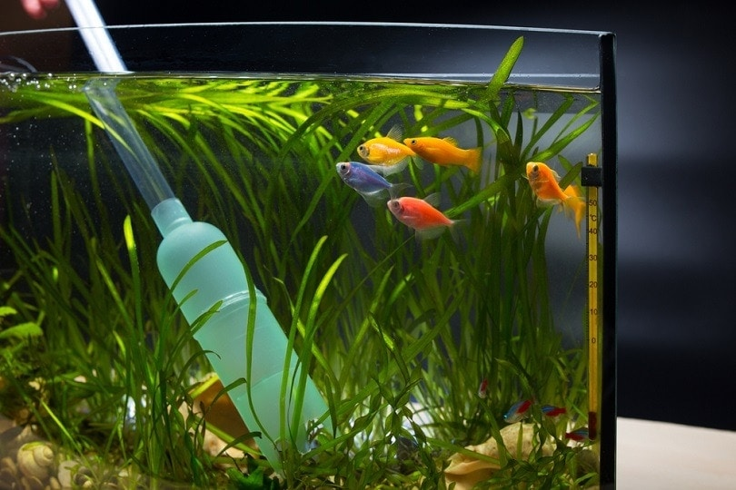 Clean aqaurium with gravel cleaner_Sergiy Akhundov_shutterstock
