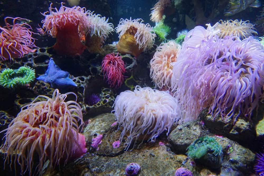 Colorful sea anemones in saltwater tank aquarium