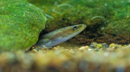 European-eel_Martin-Pelanek_shutterstock