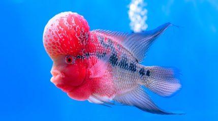 Flowerhorn Cichlid Colorful fish