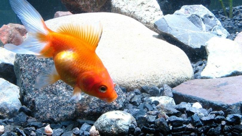 Gold fish swim near botom near gravel_dba87_shutterstock