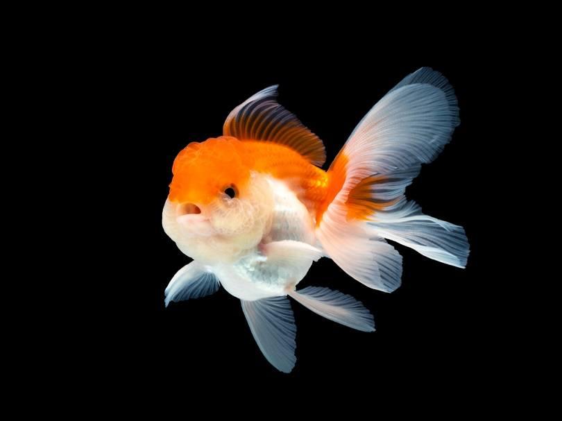 Goldfish Oranda_Buddy BIGPhotographer_shutterstock