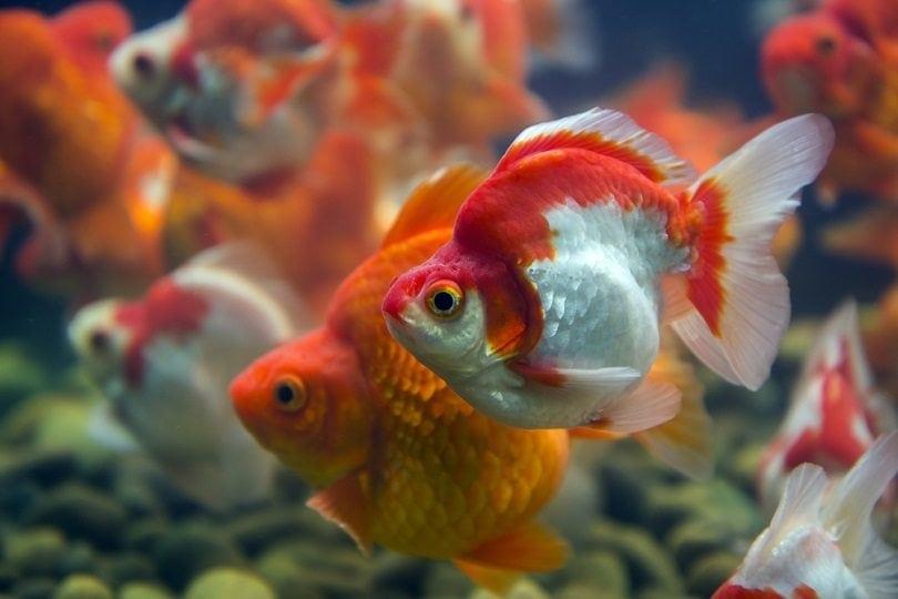 Goldfish Ryukin_Moo teaforthree_shutterstock