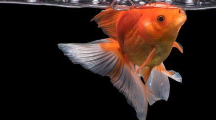 Goldfish-eating_Waraphorn-Aphai_shutterstock