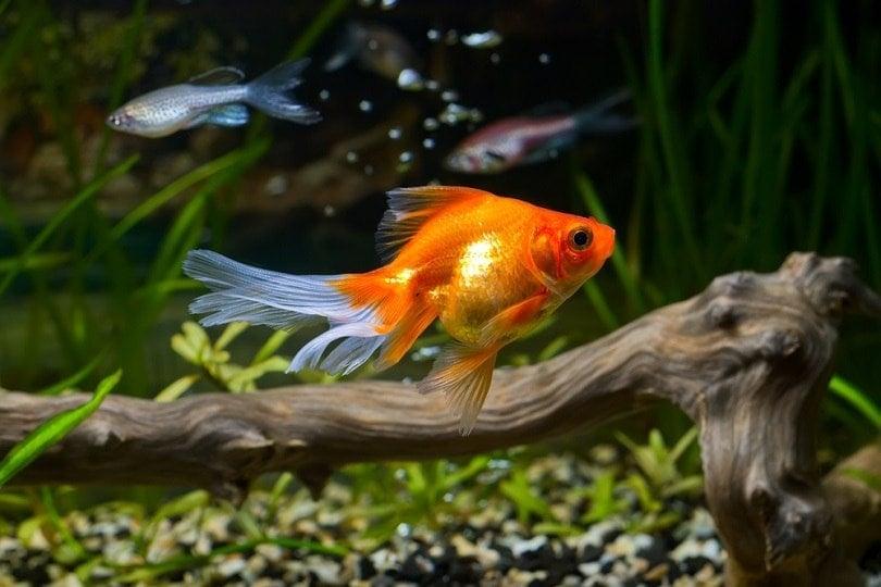 Goldfish in aquarium with green plants_Skumer_shutterstock