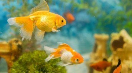 Goldfish-in-freshwater-aquarium-live-rock_Petrychenko-Anton_shutterstock