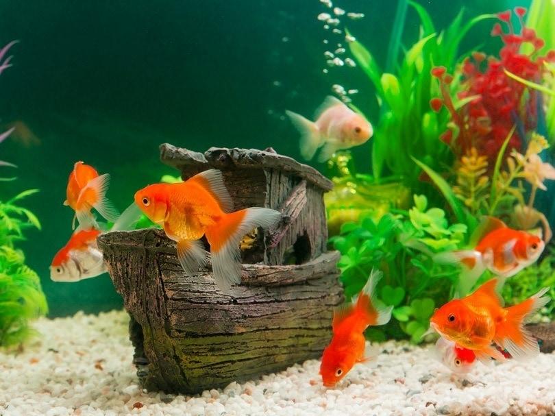 Goldfish in freshwater aquarium_