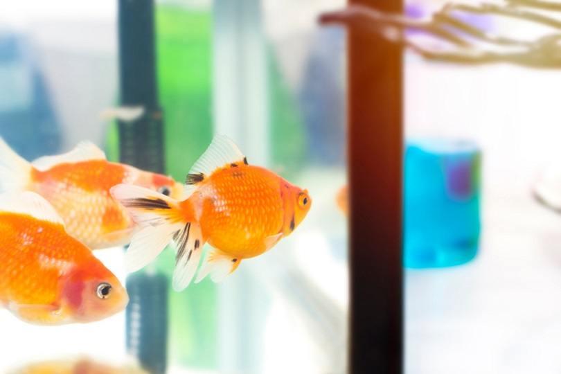 Goldfish in tank near test tube_Suthiporn Hanchana_shutterstock