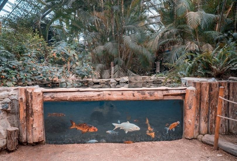 Goldfish-living-in-the-aquarium_kocaturk84_shutterstock