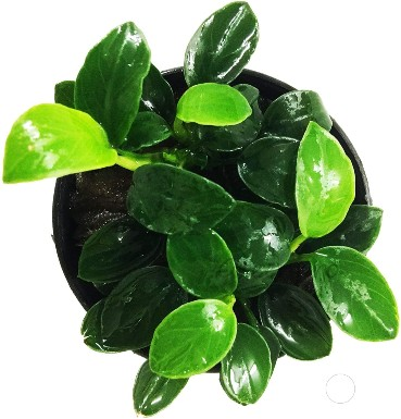 Greenpro Anubias Nana Petite