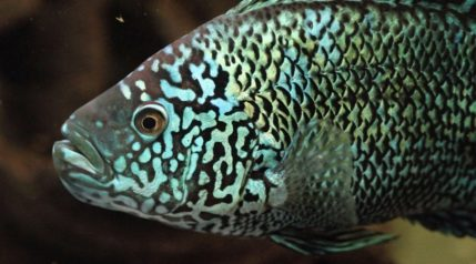 Jack-Dempsey-fish_Photofenik_shutterstock