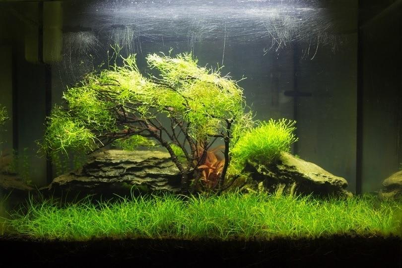 Planted nano aquarium with a moss tree_Dario995_shutterstock