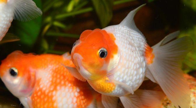 Pure Goldfish