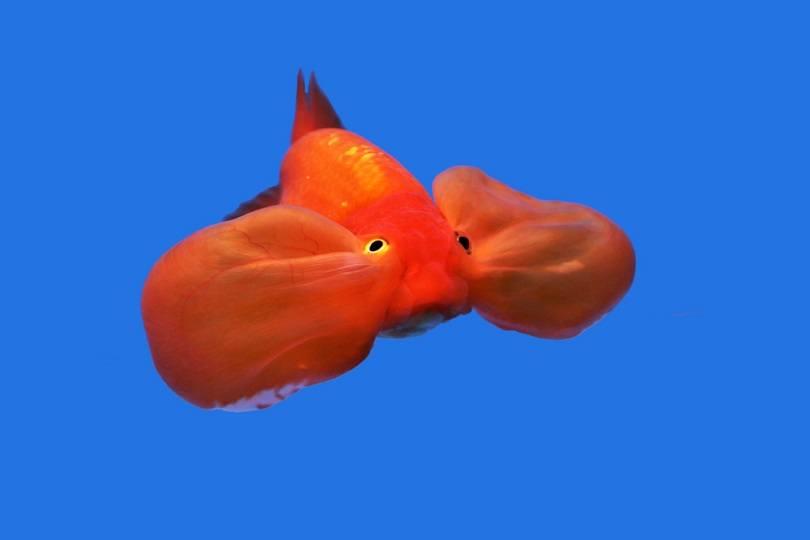 Red Bubble - eyes goldfish_Arunee Rodloy_shutterstock