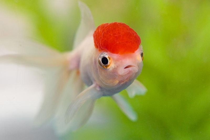 Red Cap Oranda Goldfish closeup