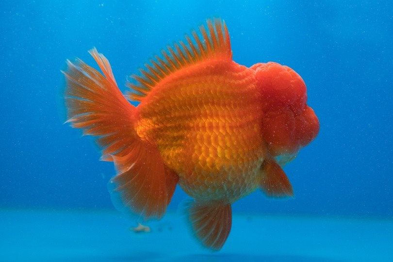 Red Oranda Gold Fish_Sardo Michael_shutterstock