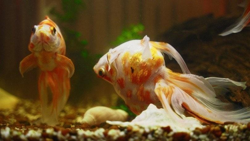 Sick-goldfish-swims-upside-down-in-aquarium_M-Production_shutterstock