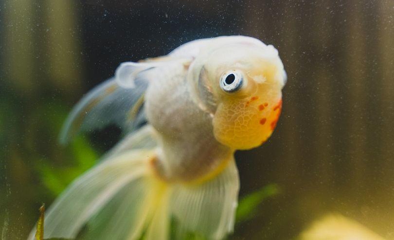 Sick-goldfish-swims-upside-down_M-Production_shutterstock