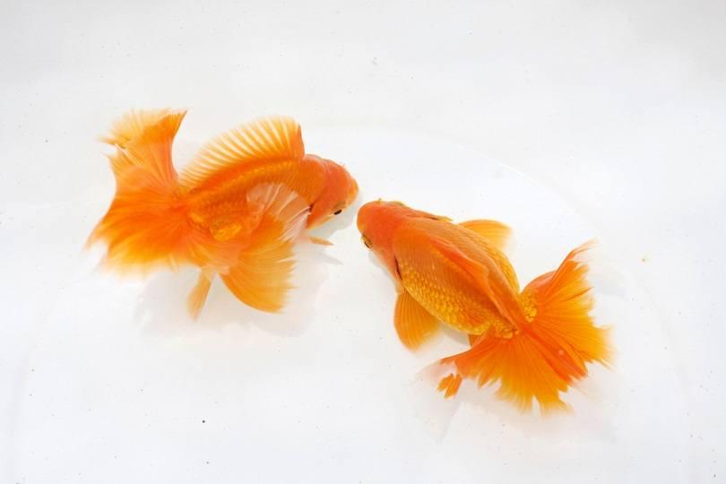 Tosakin goldfish_Pavaphon Supanantananont_shutterstock