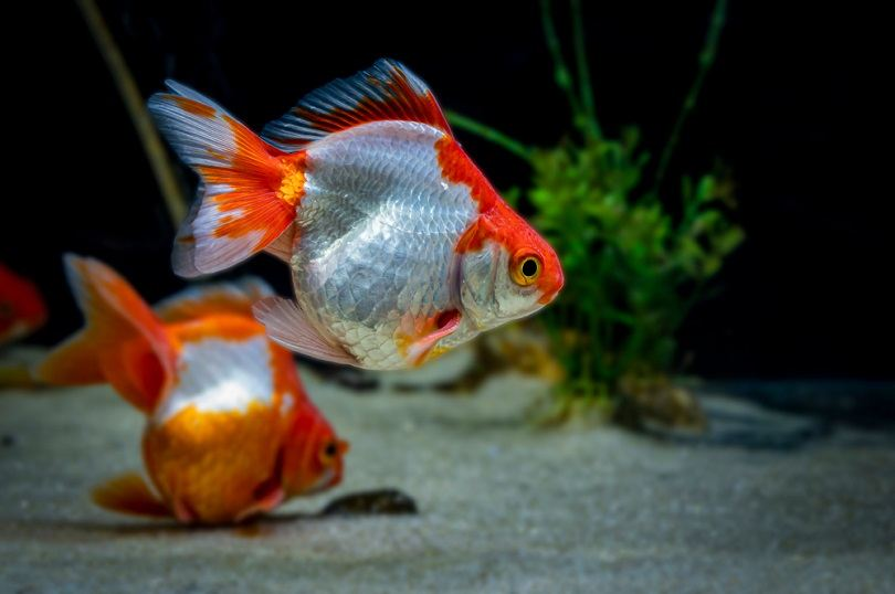Tosakin or curly fantail goldfish_Sad Agus_shutterstock