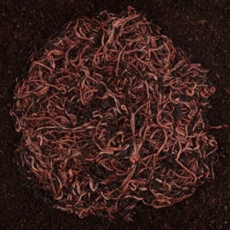 Uncle Jim's Worm Farm 500 Count Red Wiggler Live Composting Worms