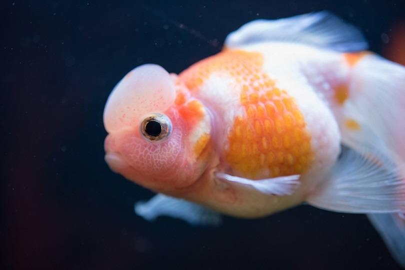 White Crown Pearlscale Goldfish_Vasin Srethaphakdi_shutterstock