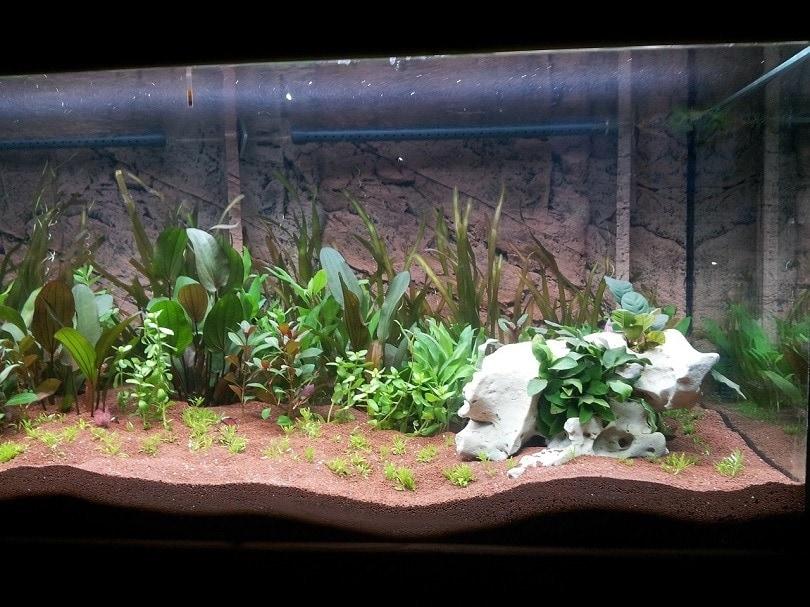 aquarium-plant-brown-pixabay
