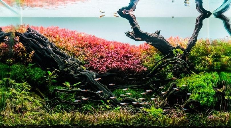 aquarium-tank-with-a-variety-of-aquatic-plants-driftwood_BLUR-LIFE-1975_shutterstock