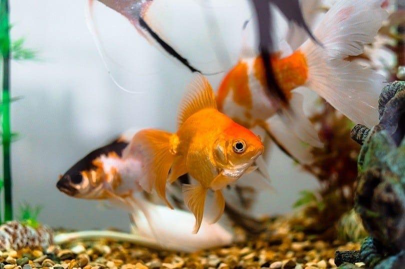 aquariums-goldfish-pixabay