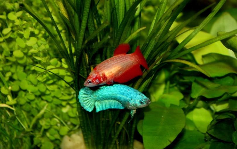 female betta fish in aquarium
