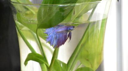 betta fish in bowl_Piqsels