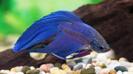 betta fish_Grigorii Pisotsckii_Shutterstock