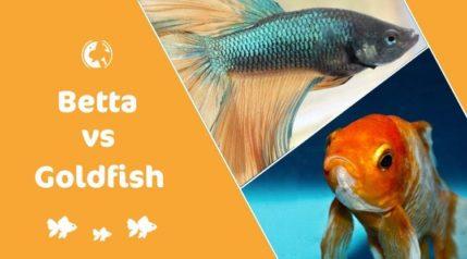 betta vs goldfish