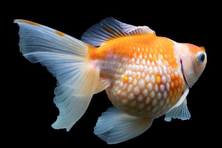 bloated dropsy goldfish