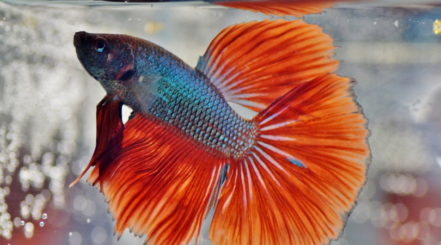crowntail betta in tank_ivabalk_Pixabay