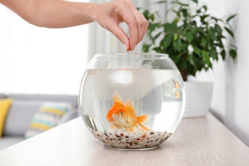 feeding-beautiful-goldfishes_new-africa_shutterstock