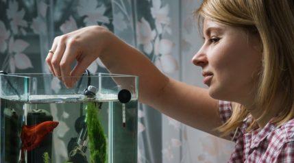 feeding-beta-fish-in-aquarium