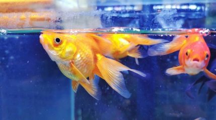 golden fish in small aquarium_jennywonderland_shutterstock