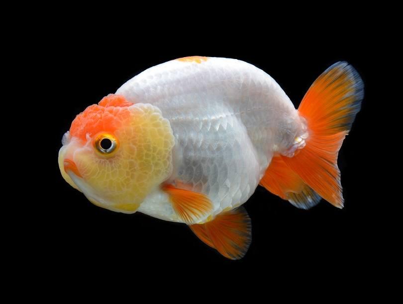 goldfish Ranchu_bluehand_shutterstock (2)