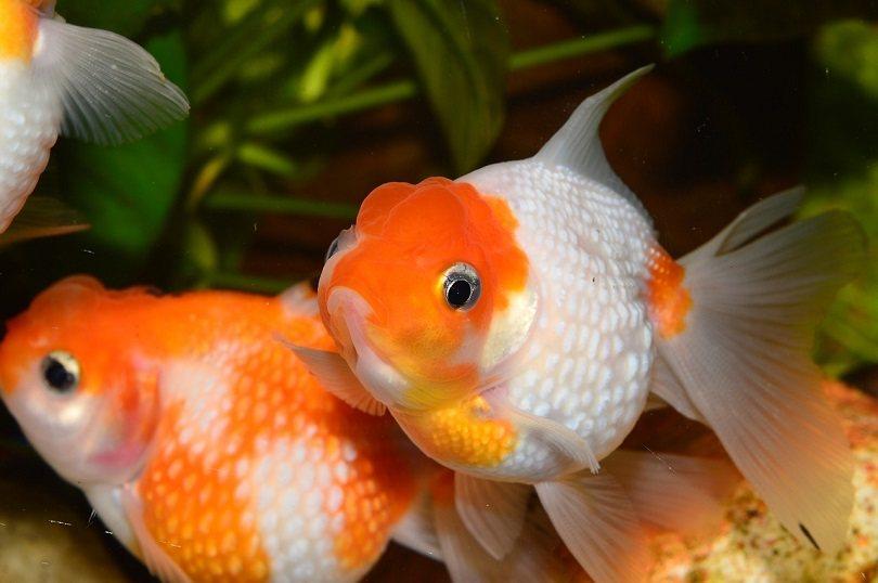 goldfish-aquarium-pixabay