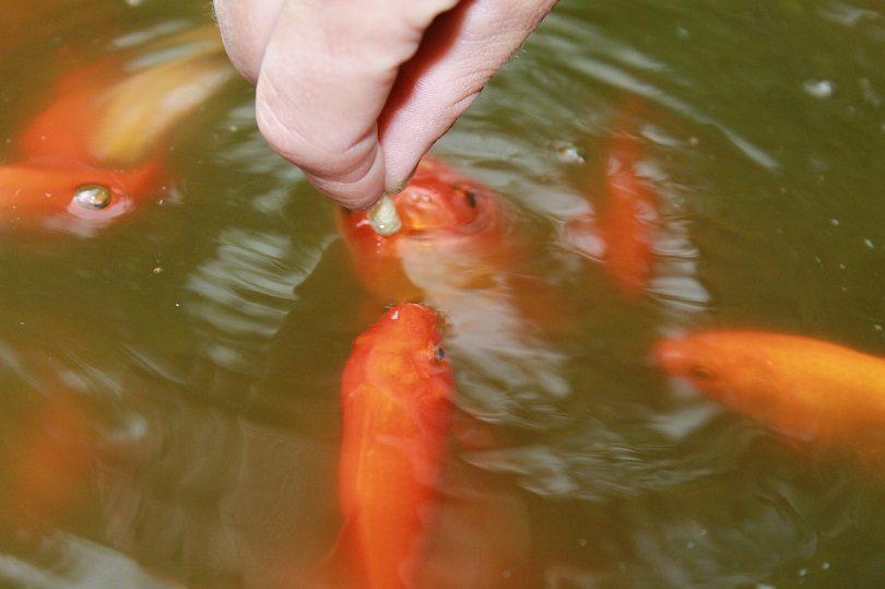 goldfish-eating