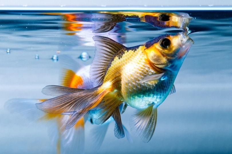 goldfish-fish-aquarium