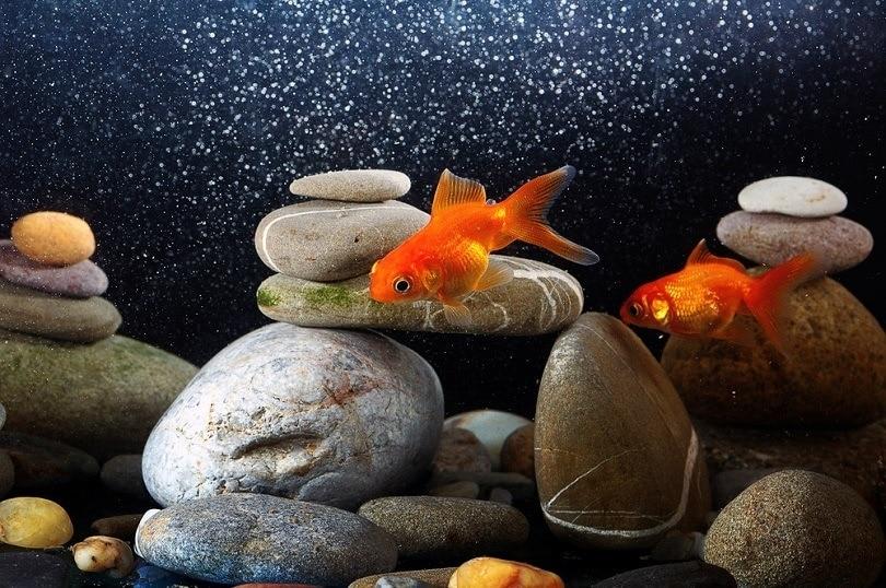 Couple,Goldfish,In,Aquarium,Over,Well-arranged,Zen,Stone,And,Nice